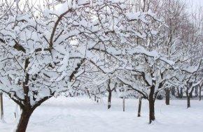 1103478-verger-sous-la-neige